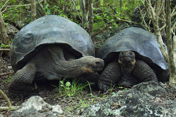 galapagos-turtles