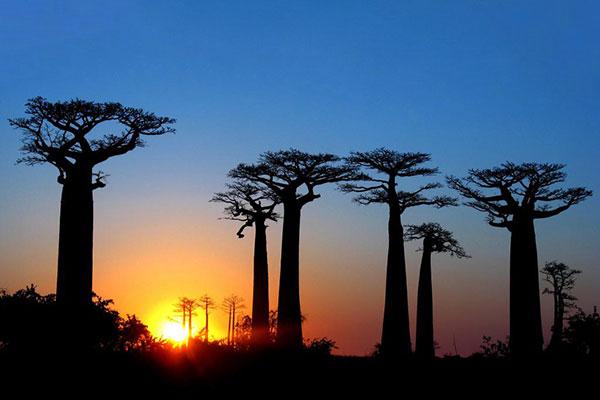 madagascar-avenue-des-baobab
